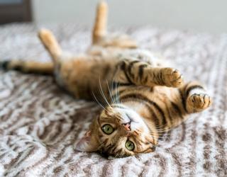 Myth Mayhem: Do Cats Actually Land on Their Feet?