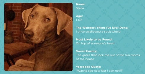 #PetStats: Keep Your Socks Away From Stella the Silver Lab