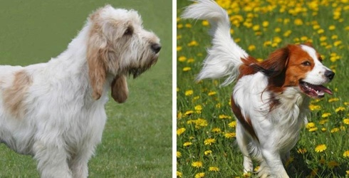 The American Kennel Club Just Recognized 2 New Dog Breeds, so Now There Are Even More Pups to Love