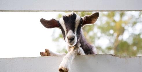 Cabinet of Curiosities: Do All Goats Faint?
