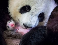 Photos of the Week: A Panda Cub is Born and Hurricane Rescue Missions Continue