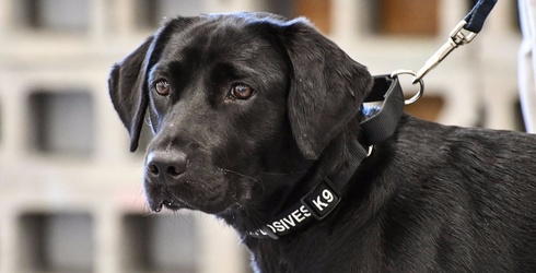 Lulu the Bomb-Sniffing Pup Gets Fired From the CIA, Presumably Joins the Counterculture