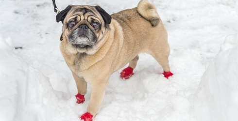 9 Times This Very Relatable Dog in Booties Was All of Us