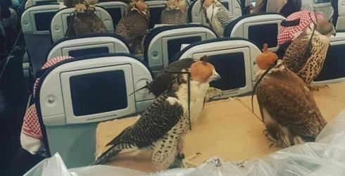 Saudi Man Buys His 80 Falcons Plane Tickets Because Falcons Deserve to Fly the Friendly Skies, Too