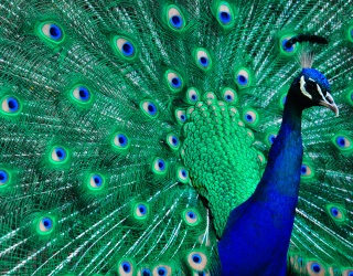 Don't Let Your Feathers Get Ruffled by This Peacock Puzzle