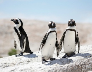There Is No Such Thing as a Penguin Erector, Which Is Such a Letdown