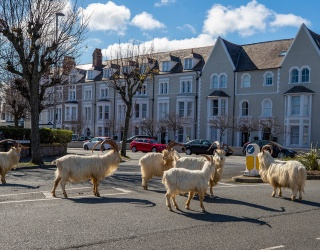 DailyTrivia: Let the Goats of Wales Help You Figure out What's Happening Today
