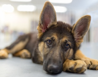 Can You Match All 8 of These Big Ol' German Shepherds Photos?
