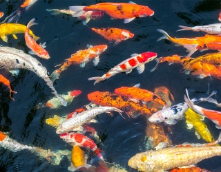 Something Is Fishy About This Koi Pond...Does That Help You Spot All the Differences?