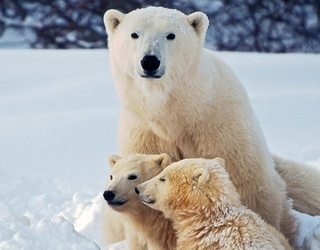 Try Not to Break the Ice as You Complete This Polar Bear Puzzle