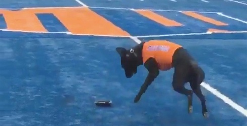 Boise State Football Has a Dog That Gets the Tee After Kickoff Like the Good Boy He Is