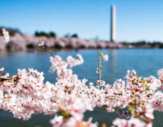 D.C. Is in Bloom! Match the Pretty-in-Pink Cherry Blossoms