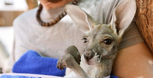 These Australians Are Doing Their Part to Rescue Orphaned Baby Kangaroos
