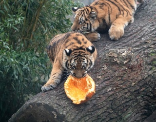 Happy Halloween to These Animals Struggling to Make Sense of Pumpkins