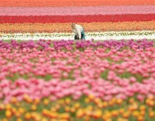 Tulip Season Has Sprung; Help Us Piece This Colorful Puzzle Back Together