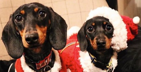 Today I Learned That Dachshunds Are Called Sausage Dogs in London, and They Regularly Parade Around the City