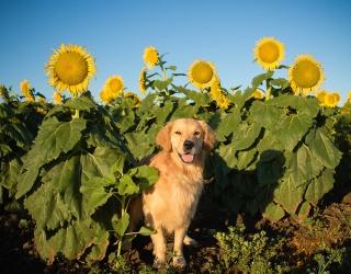 We've Never Seen Happiness Like These Dogs Sunbathing in Sunflower Fields