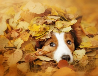 Dogs Love Jumping into Piles of Leaves as Much as We Love a Good Memory Match