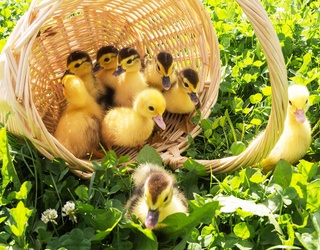Find the Differences in These Baby Duck Photos to Help Yourself Feel a Little Lighter