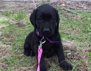 #PetStats: Meet Piper, the Hyper Black Lab Puppy