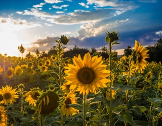Unscramble This Puzzle for a Spectacular Sunflower Field