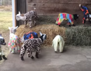 We Just Discovered This Video of Baby Goats in Pajamas and OH BOY Have We Been Missing Out