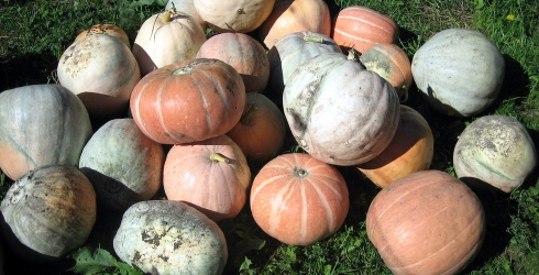 Today I Learned: Fairytale Is an Actual Pumpkin Variety