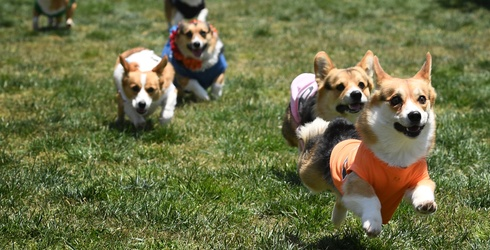 Consider This My Official Petition to Replace All Horse Racing With Corgis