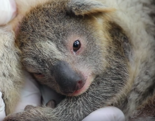 Find the Pairs of Koala Joeys to Welcome Baby Ash to the World!