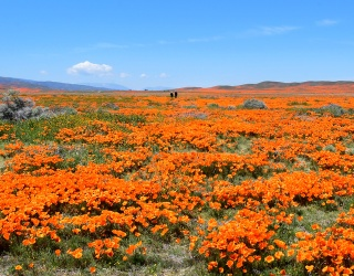 Piece Together California's Poppies to Help Remember the Beauty Around Us