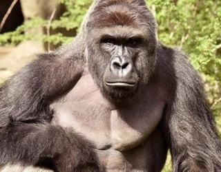 """""""Harambe"""" the Movie Could Be Coming to a Theater Near You"""