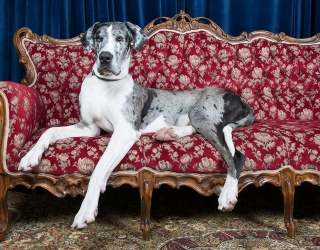 This Instagram Video Has Me Falling Deeper in Love With Great Danes