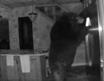 A Bear Casually Helped Itself to a Man's Fridge, and It Was All Caught on Tape
