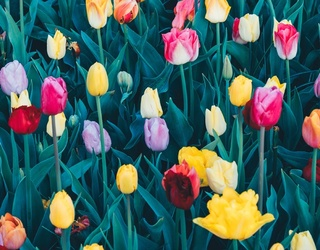 It's Not Tu-Late to Find the Differences in These Tulips