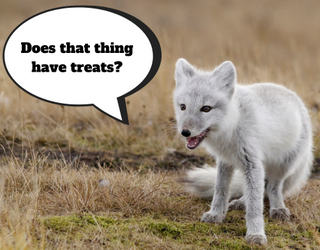 Arctic Fox Discovers Photographer's Camera, Sniffs It for Treats