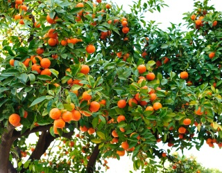 Start the Day off With a Glass of Fresh-Squeezed OJ From This Orange Tree Puzzle