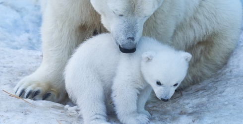 Show Some Love to the Polar Bears Today and Every Day