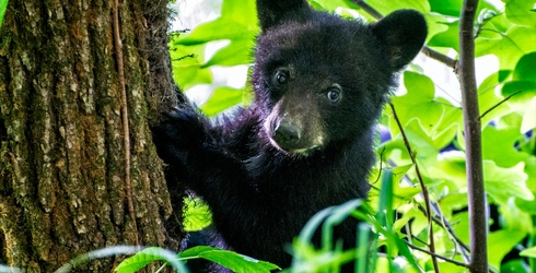 Are You Prebeared to Take This Black Bear Trivia?