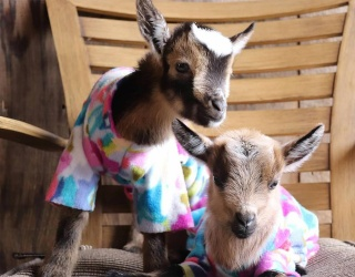 These Cozy Goats Are Working From Home, Too! Find the Differences in Their PJs