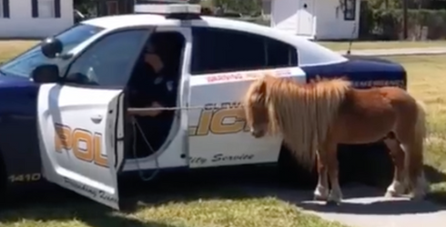 """Pony Chase Ends Peacefully in Florida Thanks to Carrots and a """"Pony Whisperer"""""""