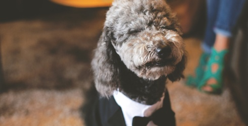 Dress to the Nines and Match These Tuxedo-Wearing Dogs