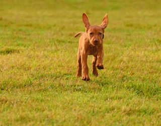 Help Stop This Vizsla Puppy From Flying Away!