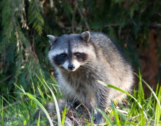 Raccoon Scales, Then Gets Trapped Atop Minnesota Skyscraper