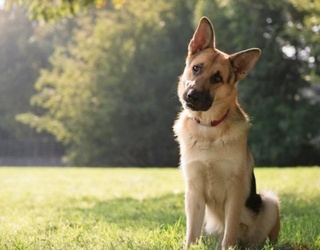 """How This German Shepherd Was Mistreated on """"A Dog's Purpose"""" Set Will Make You Want to Cry"""