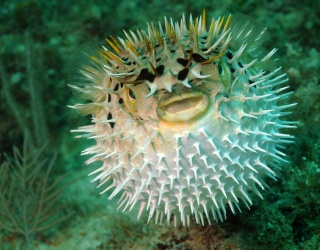 Don't Blow Your Chance to Match These Pufferfish Pairs!