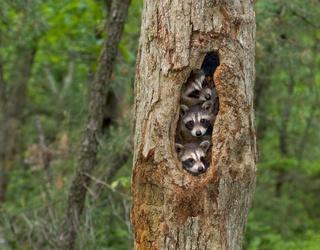 Tweets of the Week: Meet the Pied Piper of Raccoons