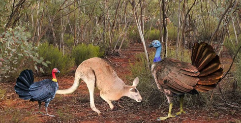 Turkeys the Size of Kangaroos Used to Roam Australia and Now We Have a New Worst Fear