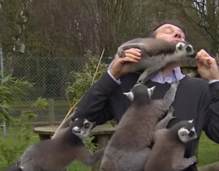 """Lemurs Tackle BBC Reporter in the Name of """"Tasty Nibbles"""""""