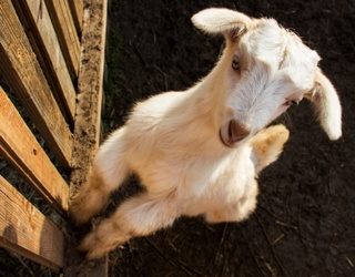 Watch This Baby Goat Reunite With Its Family and Just TRY Not to Shed a Tear