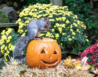 Memory Match: Squirrels Lay Claim to These Carved Pumpkins